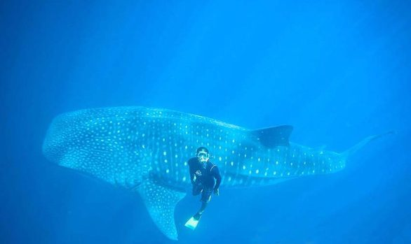 Swim with Whale Sharks at the South Ari Atoll, Maldives